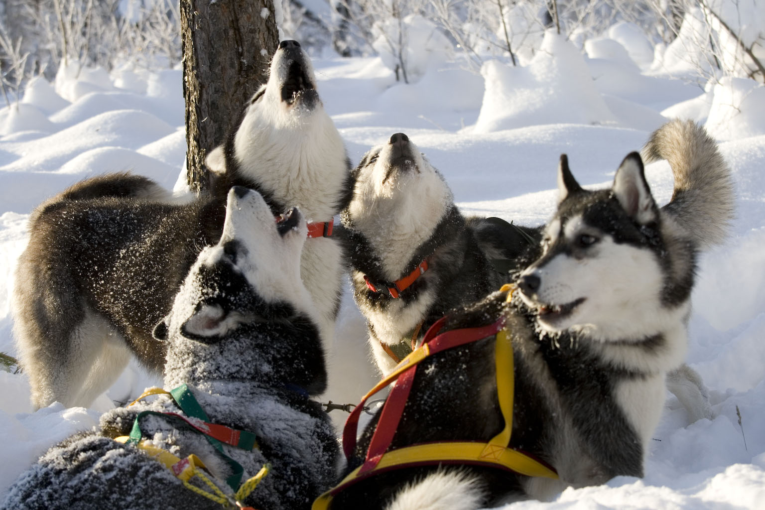 Fun-loving & friendly huskies