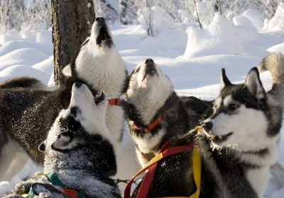 Fun-loving huskies