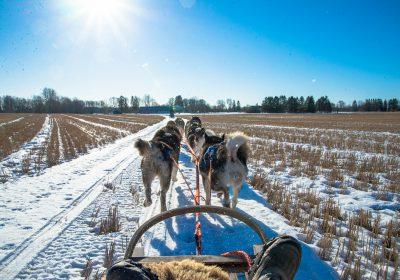 Dog sledding at the Husky Farm
